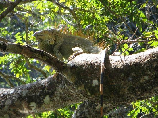 Finca Canas Castilla:                   Ein grüner Leguan am Fluss