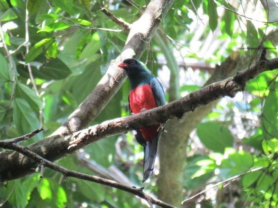 Pook's Hill Lodge: slaty tailed trogon on a forest trail