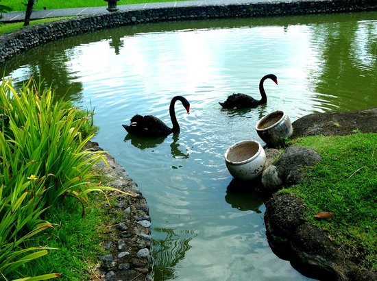 The Chedi Club Tanah Gajah, Ubud, Bali – a GHM hotel:                   Black swans!