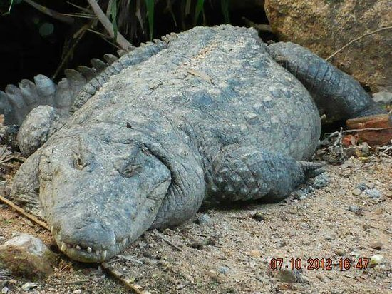 Dormant Crocodile Picture Of Nehru Zoological Park Hyderabad