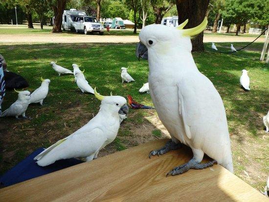هولز جاب ليكسايد توريست بارك: Feeding the cockatoos Lakeside Tourist Park