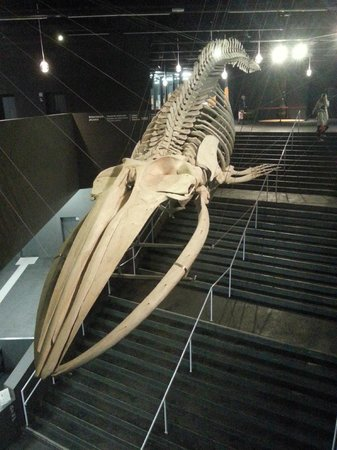 Fin whale skeleton - photo#38