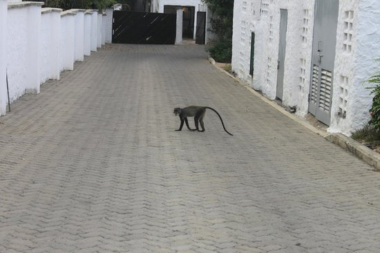 Diani Sea Lodge:                   monkey at hotel area