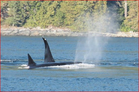 Aboriginal Journeys Wildlife and Adventure Tours: Orcas