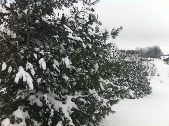 Highlands Nordic:                   Pine trees covered with snow