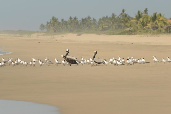 Playa Viva: Pelicans on the beach