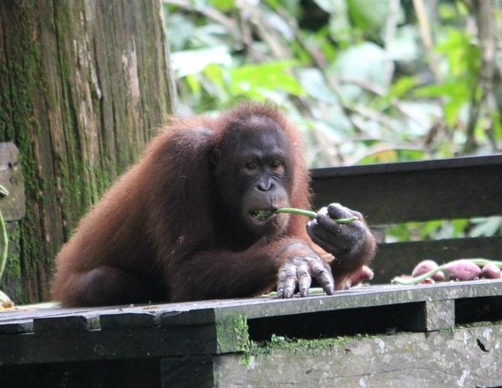 Sepilok Nature Resort:                   Orangutan x