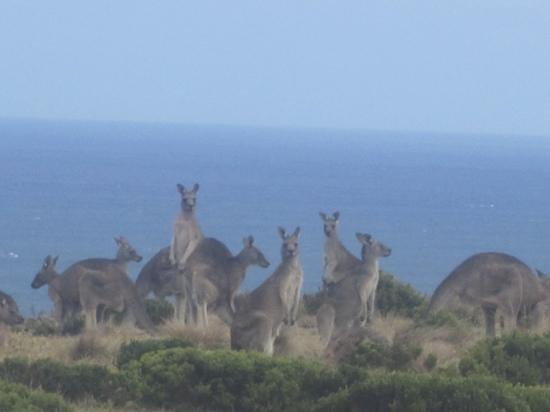 Great South West Walk:                   Kangaroos at Cape Bridgewater