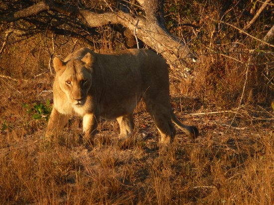andBeyond Phinda Forest Lodge: Another nice lion pic