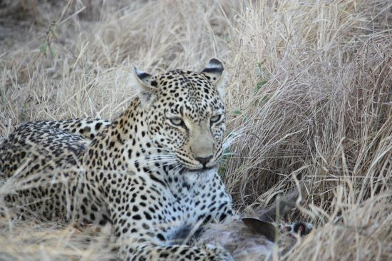 Simbambili Game Lodge:                   Leopard with kill