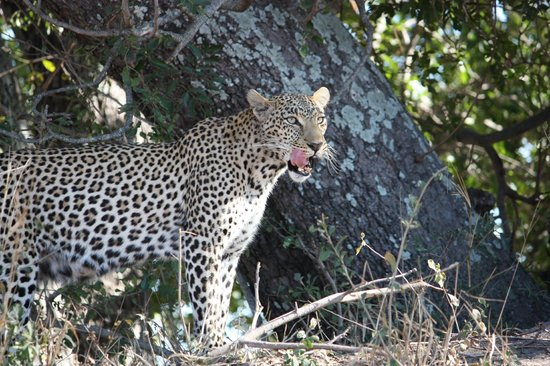 Simbambili Game Lodge:                   Leopard