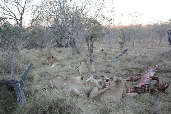 Simbambili Game Lodge:                   Lion with giraffe kill