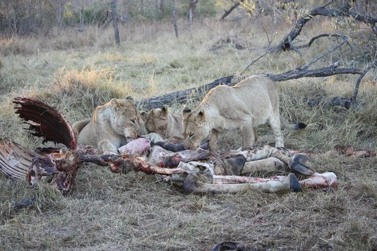 Simbambili Game Lodge:                   Lion on giraffe kill