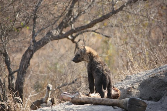 Simbambili Game Lodge:                   Hyena cub