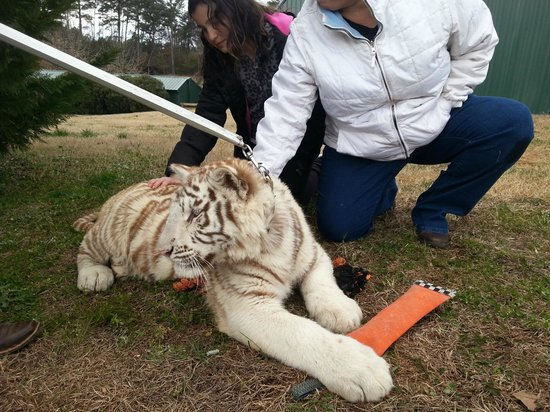 Chestatee Wildlife Preserve & Zoo :                   Petting Tiger