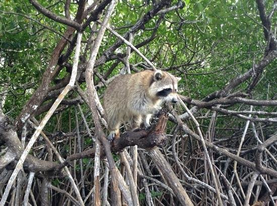 Everglades City Airboat Tours:                   Racoon
