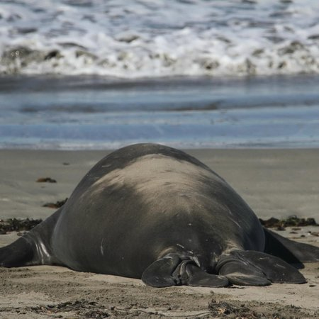 Elephant Seal Rookery:                   Northern Elephant Seal, Mirounga angustirostris