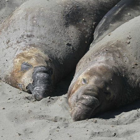 ‪‪Elephant Seal Rookery‬:                   Northern Elephant Seal, Mirounga angustirostris