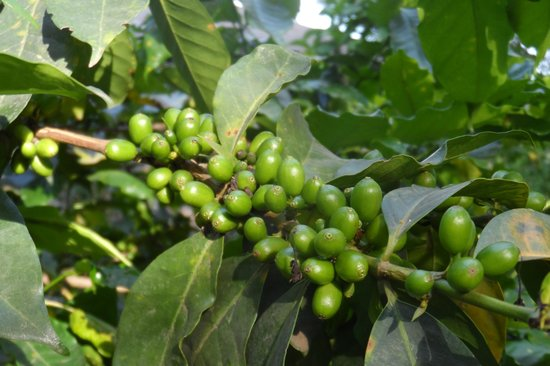 Lake Duluti Lodge: Duliti Lodge Coffee Beans