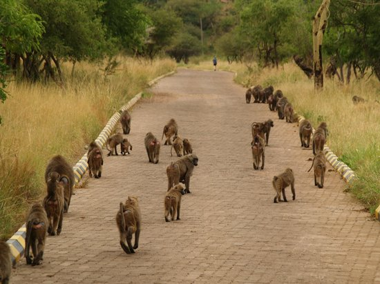 Lake Manyara Wildlife Lodge: karibu dato dalle scimmie