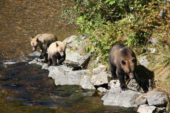 Grizzly Bear Lodge & Safari:                   Ausflug zu Grizzlybeobachtung