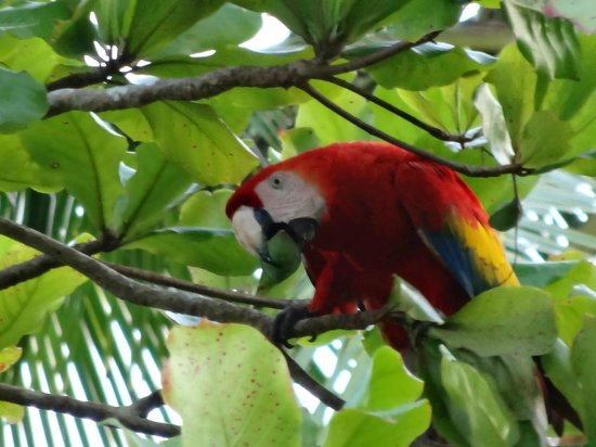 Punta Marenco Lodge:                                     one of many scarlet macaws in tree on beach