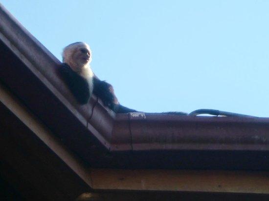 Arco Iris Lodge:                   Mit ein bisschen Glück schauen Kappuzineräffchen vorbei
