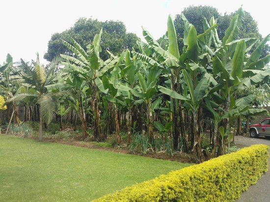 Kundayo Serviced Apartments Lodge:                                     Bananas