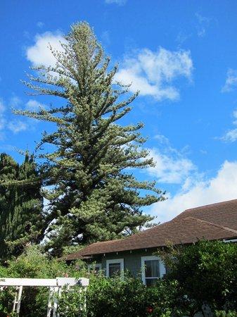 Hale Ho'okipa Inn Makawao:                                     Norfolk island pine