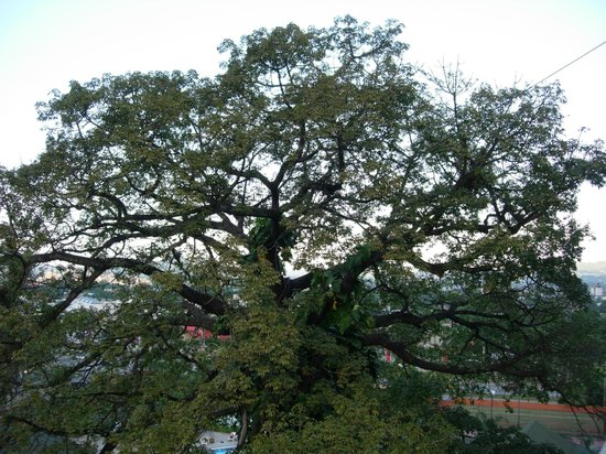 Copantl Hotel & Convention Center: La Ceiba tree outside room