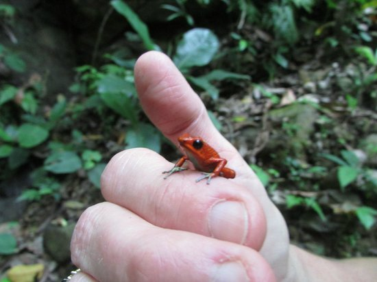 TikiVillas Rainforest Lodge: Poison dart frog found on waterfall walk