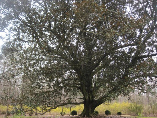 Waverly Mansion:                   This magnolia tree on the property is ~250 yrs old.