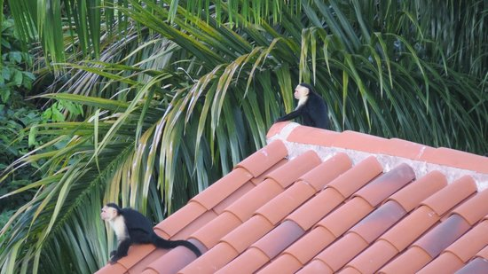 Tulemar Bungalows & Villas:                   Monkeys on property