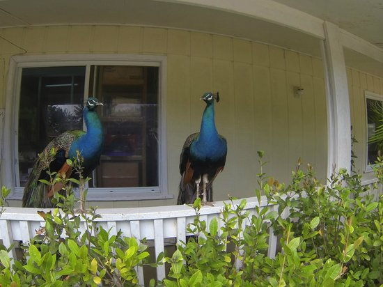 Fantasy Island Beach Resort:                   Peacocks
