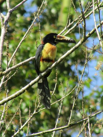 Arenal Observatory Lodge & Spa: saw 3 aricaris in one tree