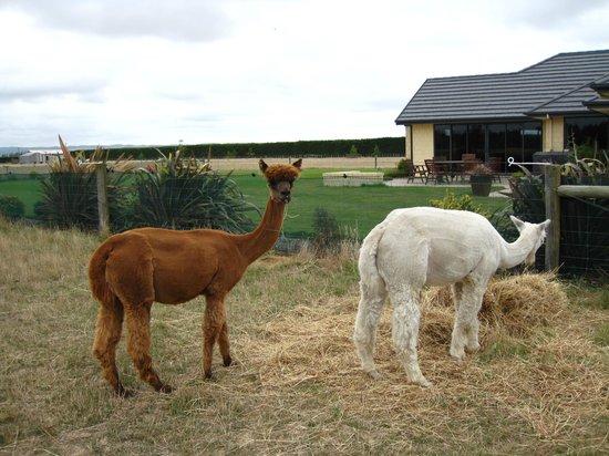 بيتيز فارم ستاي بي آند بي آند كوتيدج:                                     Alpacas at the farm                                  