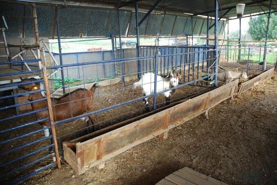 Yarok Az Organic Goat Farm:                   A few of the goats