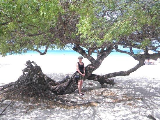 ลา คาบานา บีช แอนด์ แร็คเกต คลับ:                                     One on the many Divi Trees at the Beach