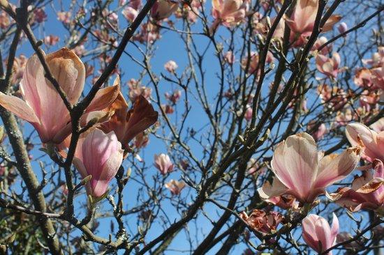Parada de Francos:                   Magnolio en el jardín