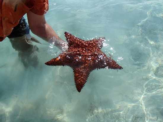 Exuma Vacation Cottages:                   Huge star fish while kayaking