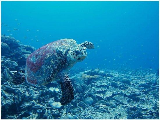 Park Hyatt Maldives Hadahaa: hawksbill turtles