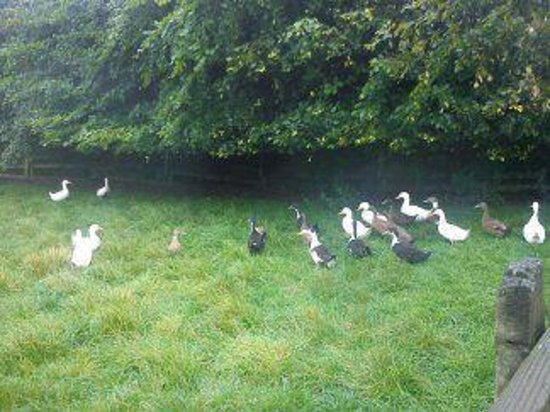 Mullacott Farm:                   Ducks by the barn