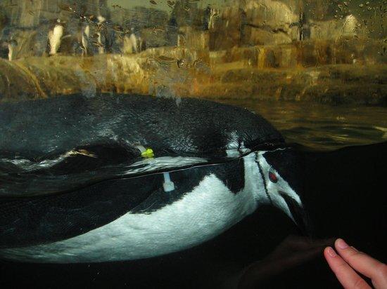 Central Park Zoo:                   Sólo un cristal nos dividen de los fabulosos pingüinos.