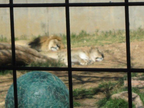 Abilene Zoo:                   lion and lionet