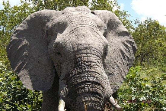 جوك سفاري لودج:                   Elephant                 