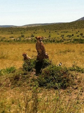 Enkewa Mara Camp:                   Cheetah and family