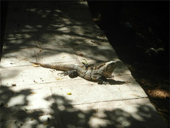 Barcelo Maya Beach:                                     Iguana!! Harmless