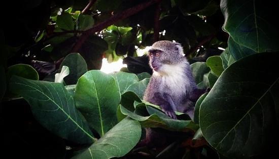 Dongwe Club:                                                       scimmia