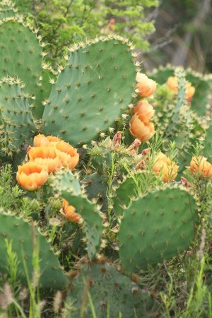 Laguna Atascosa National Wildlife Refuge:                   Blooming Cactus