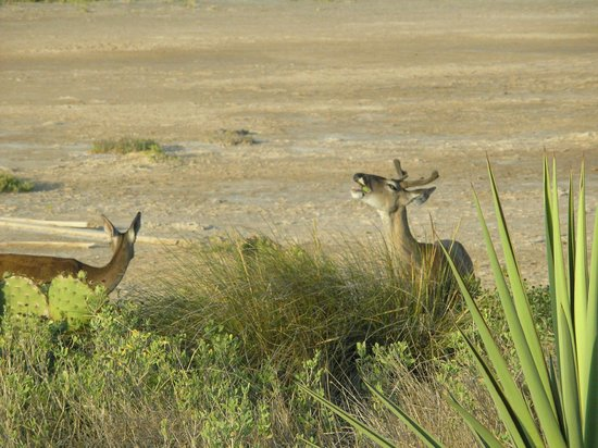 Laguna Atascosa National Wildlife Refuge:                   Deer